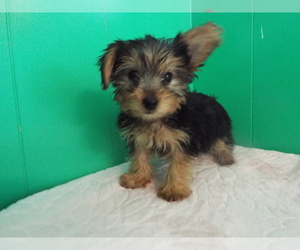 Yorkshire Terrier Puppy for Sale in PATERSON, New Jersey USA