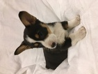 Pembroke Welsh Corgi Puppy For Sale in GREAT BEND, KS, USA
