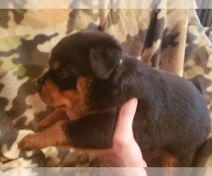 Rottweiler Puppy for Sale in EDEN, Indiana USA
