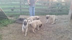 Anatolian Shepherd Female Puppy