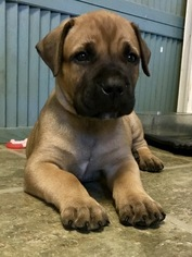 Boerboel Puppy For Sale in CHESAPEAKE, VA