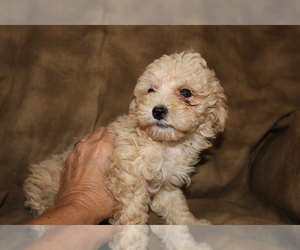 Poodle (Miniature) Puppy for sale in SIERRA VISTA, AZ, USA