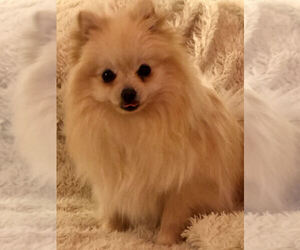 Pomeranian Puppy for sale in BELWOOD, NC, USA
