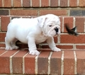 Bulldog Puppy For Sale in SPENCER, TN,