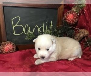 Pomsky Dog for Adoption in SULLIVAN, Illinois USA