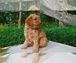 Puppy 5 Goldendoodle