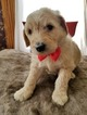 Goldendoodle Puppy For Sale in TINGLEY, IA, USA