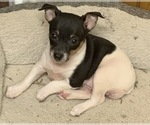 Small #3 Rat Terrier
