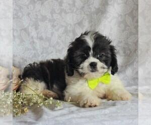 Cava-Tzu Dog for Adoption in GORDONVILLE, Pennsylvania USA