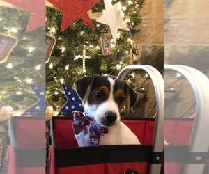 Jack Russell Terrier Puppy for sale in MABLETON, GA, USA