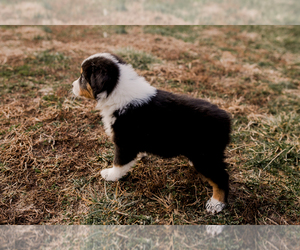 Australian Shepherd Puppy for sale in RED BUD, IL, USA