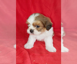 Poodle (Miniature)-ShihPoo Mix Puppy for sale in SPOTSYLVANIA, VA, USA