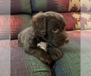 Jack-A-Poo Puppy for Sale in REBERSBURG, Pennsylvania USA