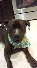 Groot - Pit Bull Terrier / Labrador Retriever / Mixed (short coat) Dog For Adoption