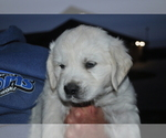 Puppy 4 English Cream Golden Retriever