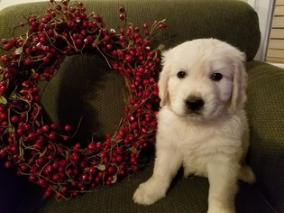 Golden Retriever Puppy For Sale in HUDSONVILLE, MI