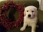 Golden Retriever Puppy For Sale in HUDSONVILLE, MI