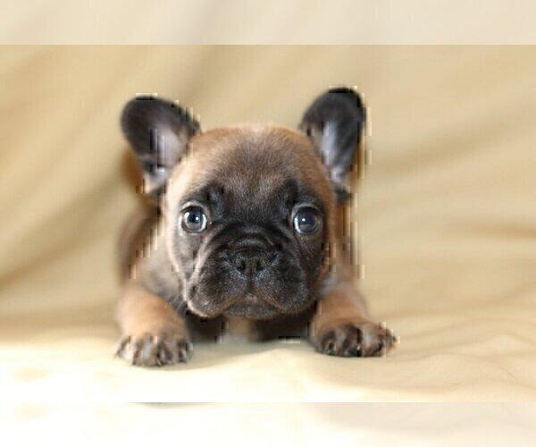 Medium Photo #3 French Bulldog Puppy For Sale in WINDERMERE, FL, USA