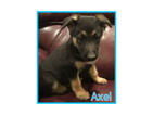German Shepherd Dog Puppy For Sale in CLARKSTON, UT