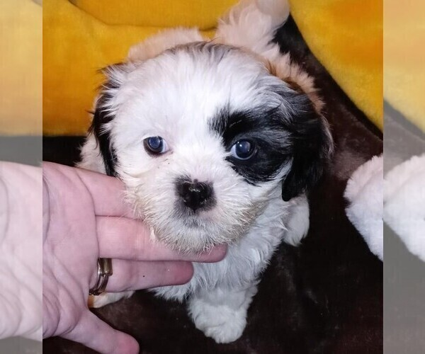 Medium Photo #1 Shih-Poo Puppy For Sale in JACKSONVILLE, OH, USA