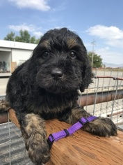 Gordon Setter-Poodle (Standard) Mix Puppy For Sale in LEWISTON, UT, USA
