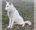 Small #8 Wolf Hybrid