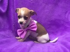 Chihuahua Puppy For Sale in PEACH BOTTOM, PA, USA
