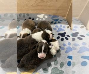 Shetland Sheepdog Puppy for sale in SAGINAW, MI, USA