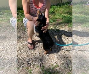 Miniature Australian Shepherd Puppy for sale in OVERBROOK, KS, USA
