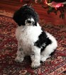 Poodle (Standard) Puppy For Sale in PLACERVILLE, CA,