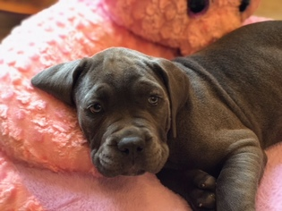 Cane Corso Puppy For Sale in WHITE HOUSE, TN, USA
