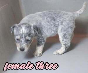 Australian Cattle Dog Puppy for sale in EAGLE, NE, USA
