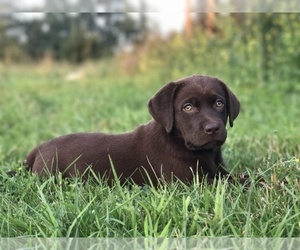 Labrador Retriever Puppy for Sale in BRANDON, Michigan USA