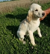 Labrador Retriever Puppy For Sale in ARTHUR, IL,