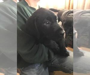 Labrador Retriever Puppy for Sale in AVA, Missouri USA
