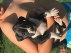 Boxer Puppy For Sale in BOLIVAR, PA, USA
