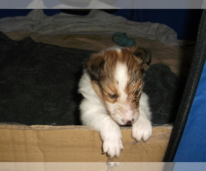 Shetland Sheepdog Puppy for sale in LENOIR, NC, USA