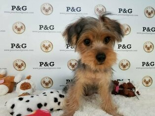 Yorkshire Terrier Puppy for Sale in TEMPLE CITY, California USA