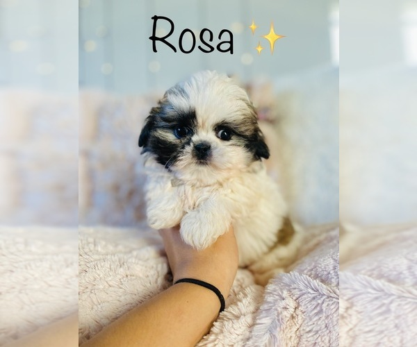 Medium Photo #6 Shih Tzu Puppy For Sale in COOKEVILLE, TN, USA