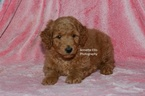 Goldendoodle Puppy For Sale in MILLERSBURG, Indiana,