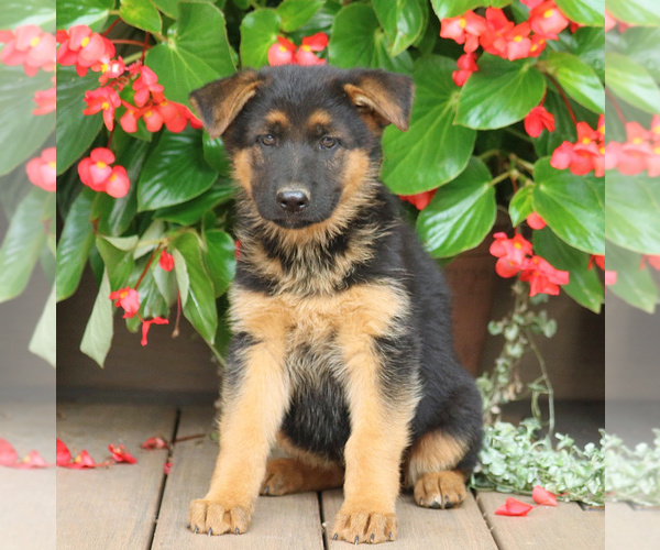 View Ad: German Shepherd Dog Puppy for Sale near Hungary