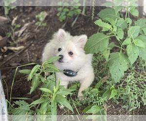 Pomeranian Puppy for sale in BOSTON, MA, USA