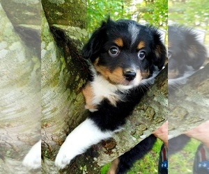 Miniature American Shepherd Puppy for sale in SAYLORSBURG, PA, USA