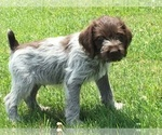 Small #17 German Wirehaired Pointer