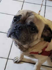 Puggle Dog For Adoption in EASTLAKE, OH, USA