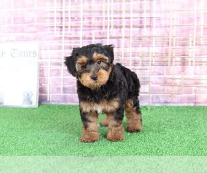 Yorkie-Poo Dog for Adoption in BEL AIR, Maryland USA