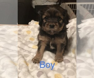 Cavalier King Charles Spaniel-Scorkie Mix Puppy for sale in ITHACA, NY, USA