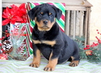 Rottweiler Puppy For Sale in MOUNT JOY, PA, USA