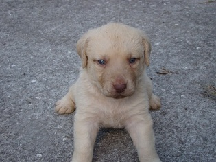 Chesapeake Bay Retriever Puppy For Sale in ASTOR, FL
