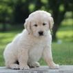 Golden Retriever Puppy For Sale in GAP, Pennsylvania,